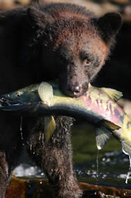 Black Bear eating Chum Salmon