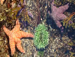 Starfish with Sea Anemone